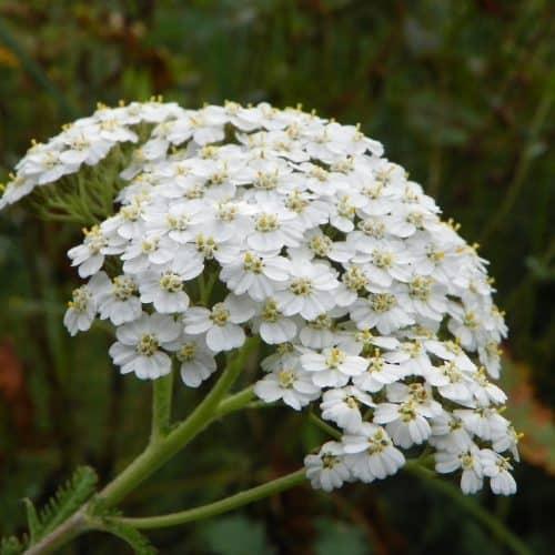 Achillea millefolium (Gemeine Schafgarbe)