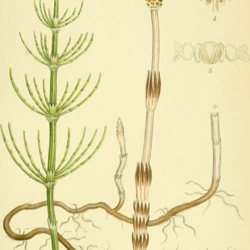 Ackerschachtelhalm (siehe Equisetum arvense)