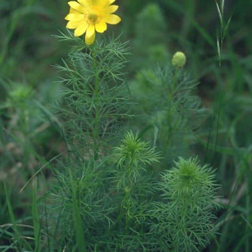 Adonis vernalis (Adonisröschen)